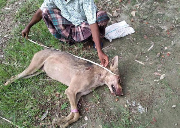 First appeared after 70 years, the rare Indian gray wolf was beaten to death by farmers - Photo 1.