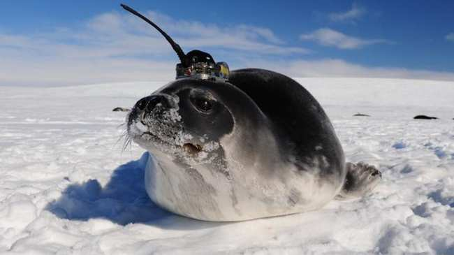 Seals with sensors help to solve the mystery of Antarctic mystery - Photo 1.