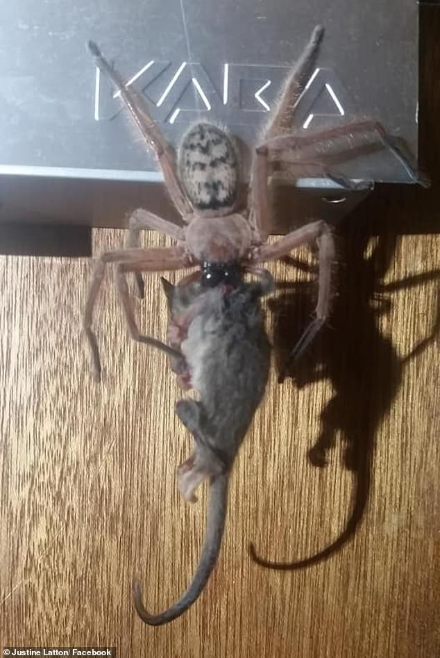 The Australian couple is afraid of re-cracking when they find the giant super-large spider feeding the re-possum - Photo 1.