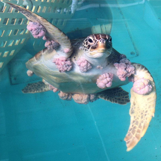 We treat the cancer for turtles, and this is how they repay us - Photo 1.