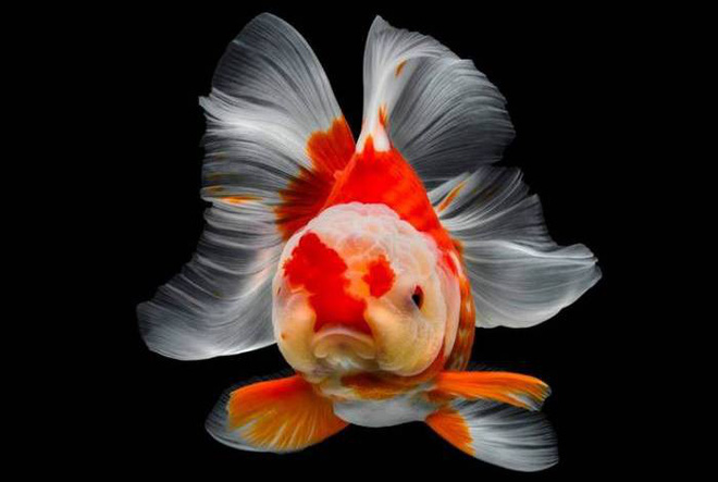 Admire a series of beautiful photos of goldfish, sorry not to choose a picture to make a phone wallpaper - Photo 1.