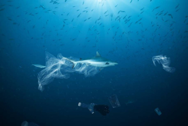 Plastic bags, human gear are becoming a terrible threat to the life of sharks - Photo 1.