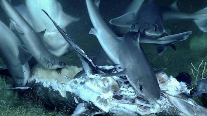 """Watch the bad shark being """"destroyed"""" by a fish in the ocean bottom in the blink of an eye - Photo 1."""