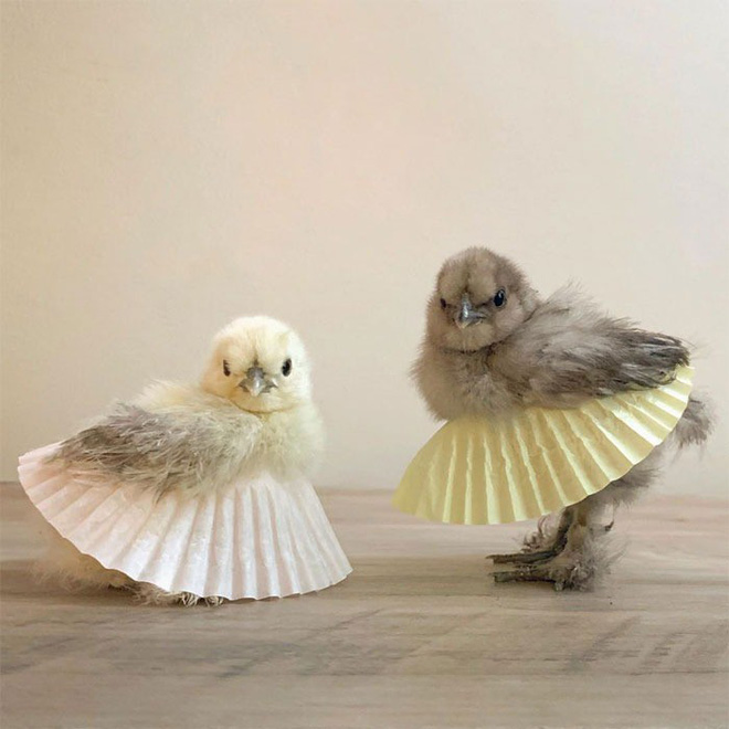 Photo: When the chickens wearing ballet dresses turned out to be so hard to resist like this - Photo 1.