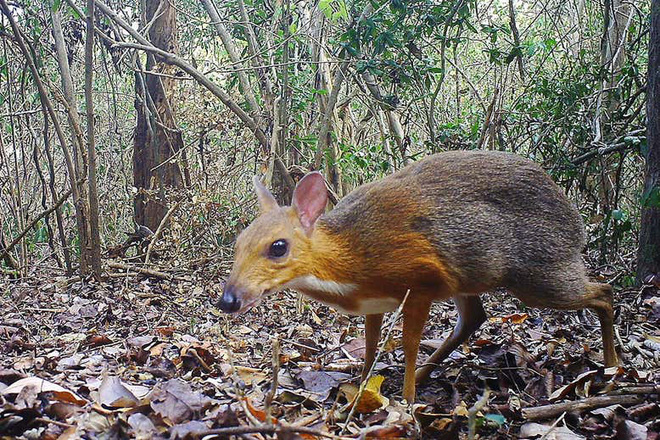 The whole world rejoice when Vietnam recognizes that the silver-backed chevrotain after 30 years has disappeared - Photo 1.